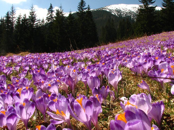 Crocuses in the Tatras